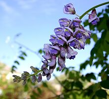 Wisteria by April-in-Texas