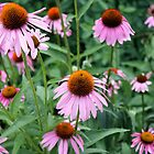 Purple Coneflowers in a Summertime Bloom by cjbenck