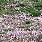 A Carpet of Mt.Pinks  by Ruth Lambert