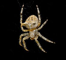 Garden Spider by Jeffrey  Sinnock