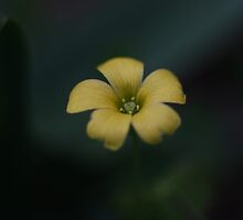 Yellow Oxalis Flower by Keith G. Hawley