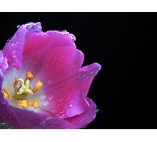 Lovely Tulip. Photographic Print
