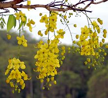 Golden Shower Tree over Cooloolabin Dam by Kate Lawrence