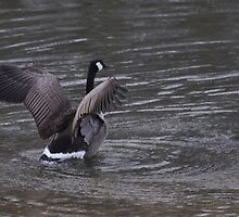 Goose 1/1/10 by mltrue
