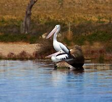 Pelicans - Resting by Mark Richards