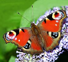 The beautiful Peacock Butterfly by Stephen Walton