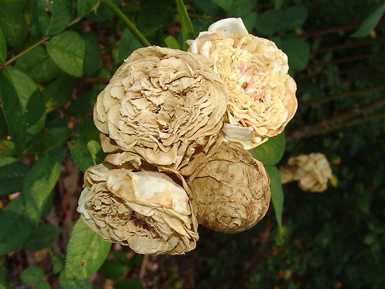 White Withered Roses by May Lattanzio