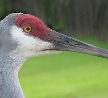Sandhill Crane by nancyb926