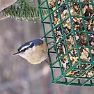 Red Breasted Nuthatch by MaryinMaine