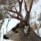 Mule Stag Profile by Alyce Taylor