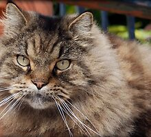 Cajun Cat Basking in New Orleans by francierose