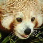 Red Panda by chloefish