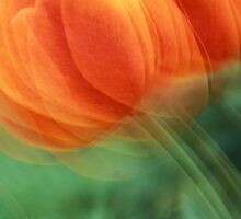 Tulips bend in the wind by Robert deJonge