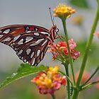 A Gulf Fritillary Butterfly On Flower by Robert deJonge