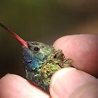 Broad-billed Hummingbird at Madera Canyon by Robert deJonge