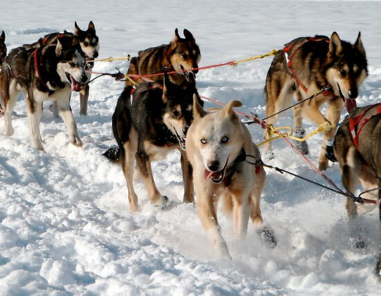 Wrong Way Sled Dog by Gina Ruttle  (Whalegeek)