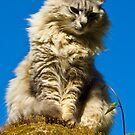 Perched Cat - Capri,Italy by rjhphoto