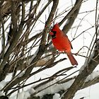 Cardinal by BarbL