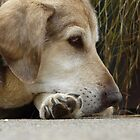 jake, an old dog by tego53