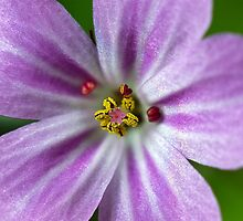 Herb Robert by Bonnie Kirkpatrick