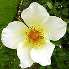 White Rose by John Brotheridge
