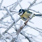 Winter Blue Tit by Sarah-fiona Helme