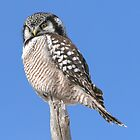 Northern Hawk Owl by Todd Weeks