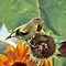 Gold Finch on a Sunflower by Bill Spengler