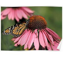 Monarch on Echinacea Poster