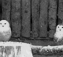 Snowy Owls by Al Bourassa