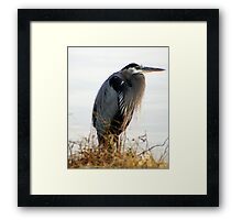 A Magnificent BLUE HERON.....on a cold Fall day..... Framed Print