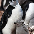 Chinstrap penguin with 2 chicks by parischris