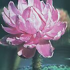 Waterlily (4151) by ScenerybyDesign