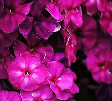 Pretty Purple by Ryan Davison Crisp