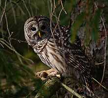 Barred Owl in Pine Tree -  Brighton, Ontario - 4 by Michael Cummings