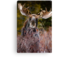 Moose in Cucumber Gulch Canvas Print