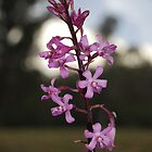 Hyacinth orchid by GeoGecko
