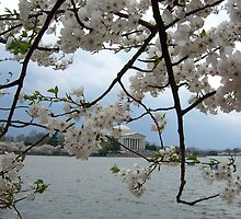 Cherry Blossoms by the Jefferson by Amanda Yetman