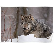 Timberwolf in Winter Poster