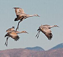 0102103 Sandhill Cranes by Marvin Collins