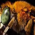 Blue Banded Bee up close by Andrew Durick
