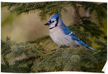 Blue Jay - Algonquin Park, Ontario by Michael Cummings