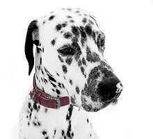 Dalmatian Julius snowkissed  by ©The Creative  Minds