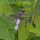 male Scarce Chaser dragonfly by Hugh J Griffiths