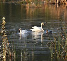 Trumpeter Swans - Potter Marsh - Anchorage by Barbara Burkhardt