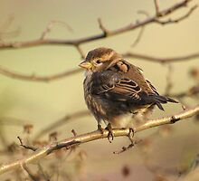 House Sparrow Chick by Franco De Luca Calce