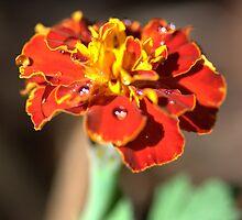 Marigolds in the Garden by Kevin Brett