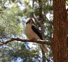 Kookaburra - Mt Warning Road by SunnieGal