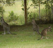 Feeding Kangaroos at Yarongabilly Caves by Vicki Hancock