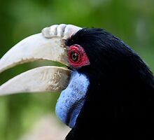 Indonesia 15 - Wreathed Hornbill (Aceros undulates)  by Normf
